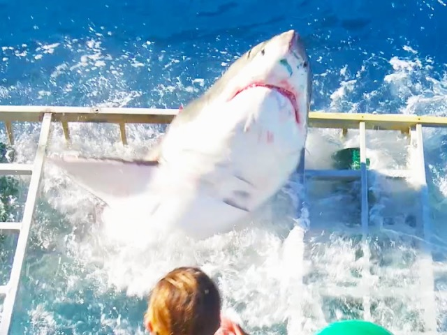 Great White Shark Breaks Into Shark Cage