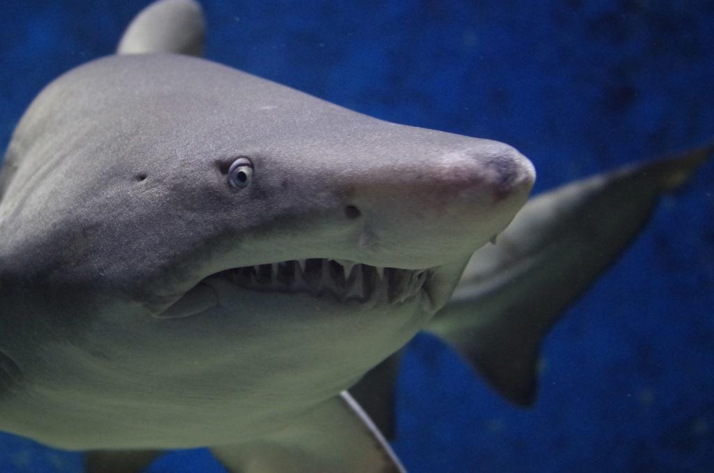 shark-byron