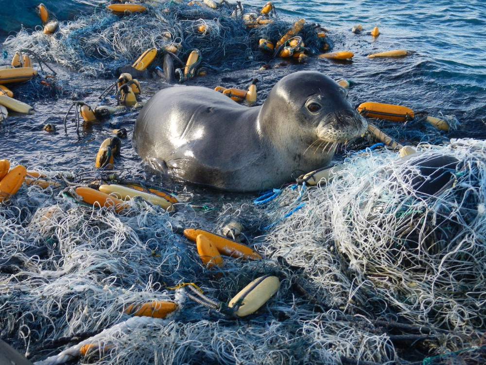 The Problem with Ocean Plastic: Seal trapped in fishing net